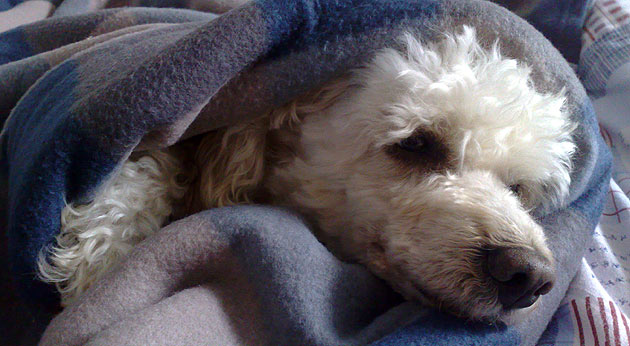 Even Gizmo is feeling cold and likes to sleep under a cozy blanket sometimes